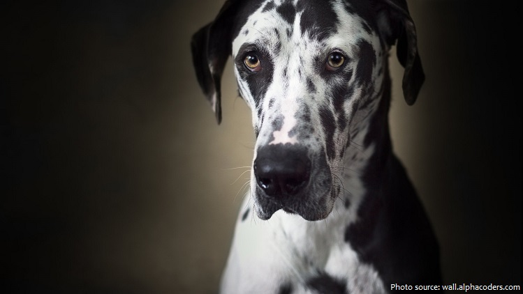 great-dane-3