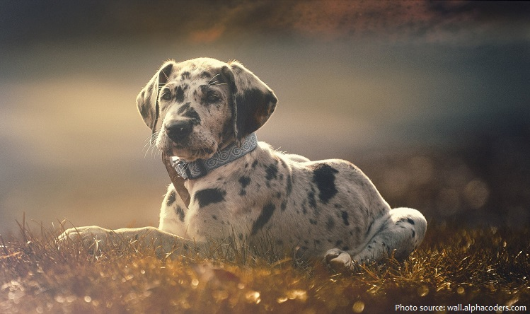 great-dane-5