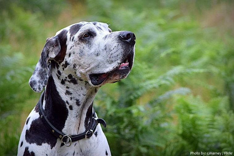great-dane-6