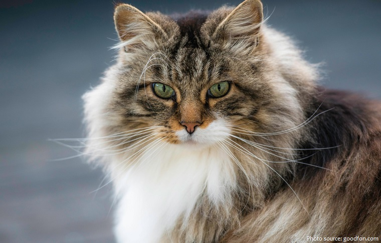 norwegian-forest-cat-2