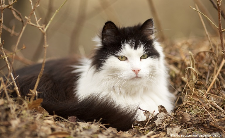 norwegian-forest-cat-3