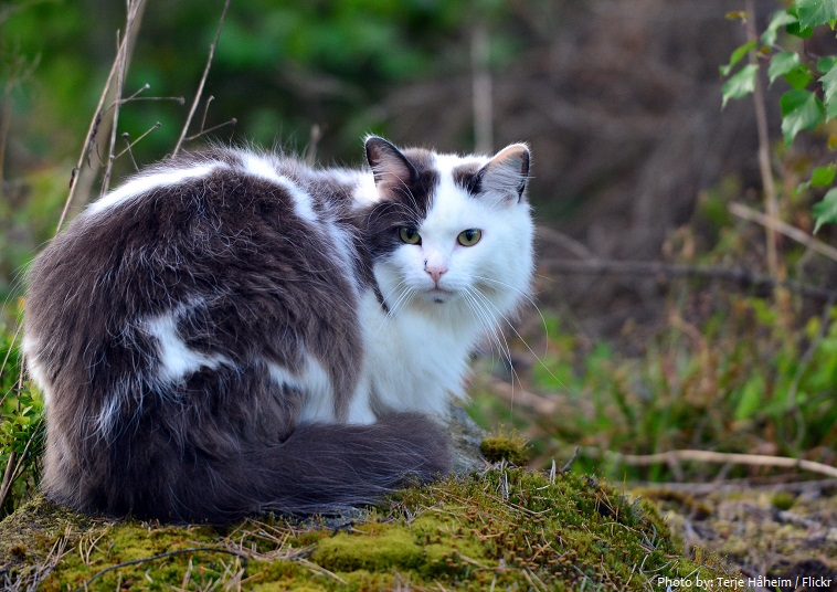 norwegian-forest-cat-5