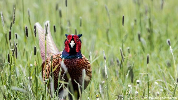 pheasant-5