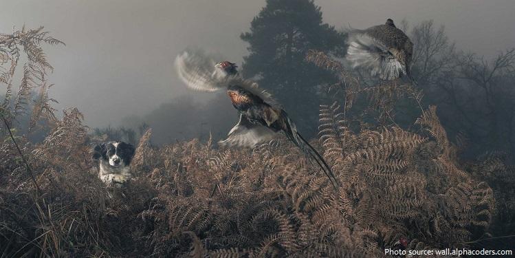 pheasant-6