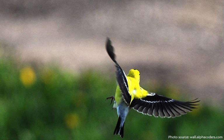 american-goldfinch-2