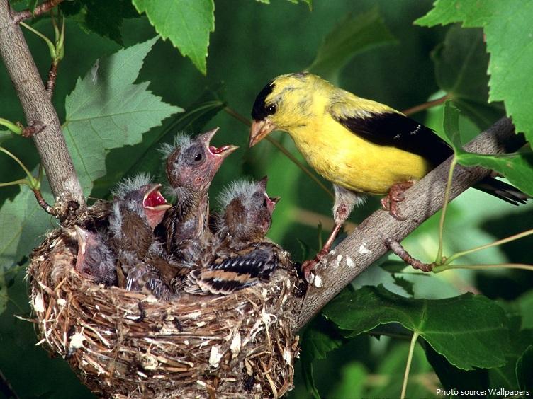 american goldfinch nest chicks