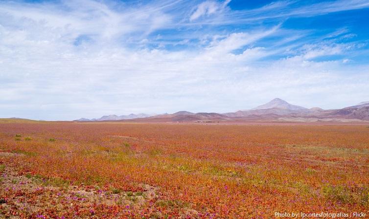 atacama desert flowers