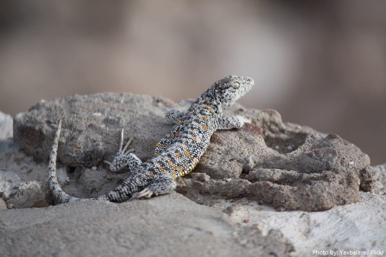 atacama desert lizard