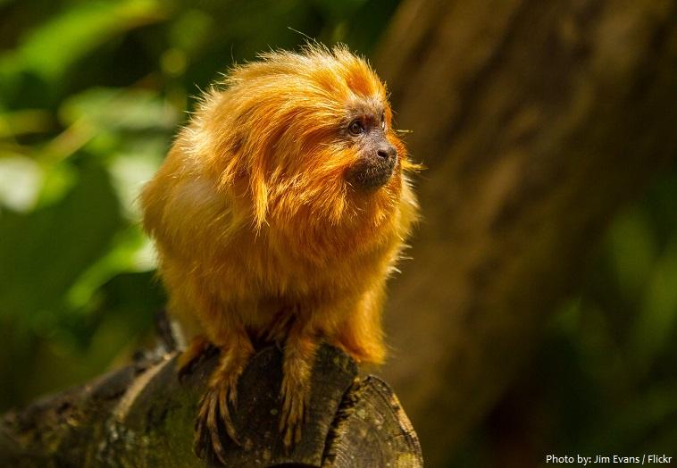 golden-lion-tamarin-3