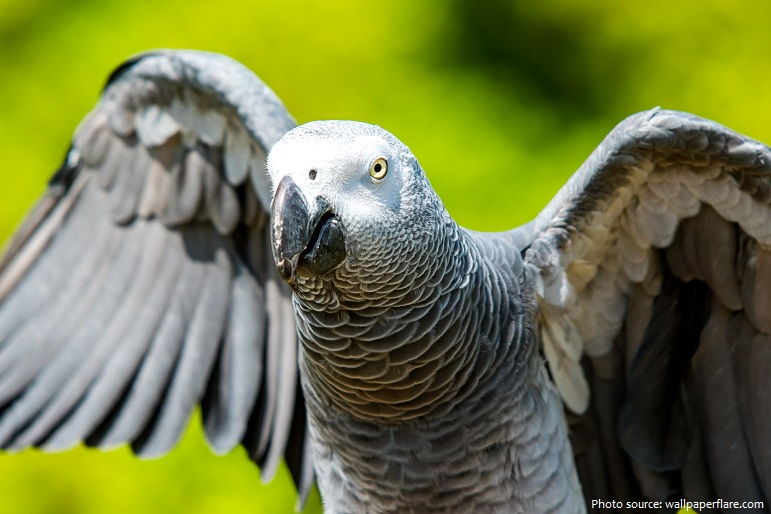 grey-parrot-2