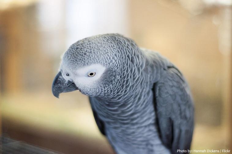 grey-parrot-3