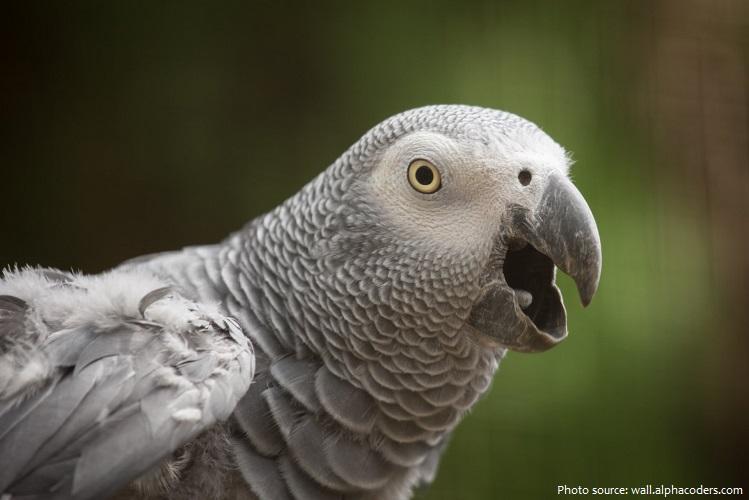 grey-parrot-5