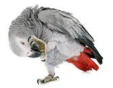 grey-parrot-7