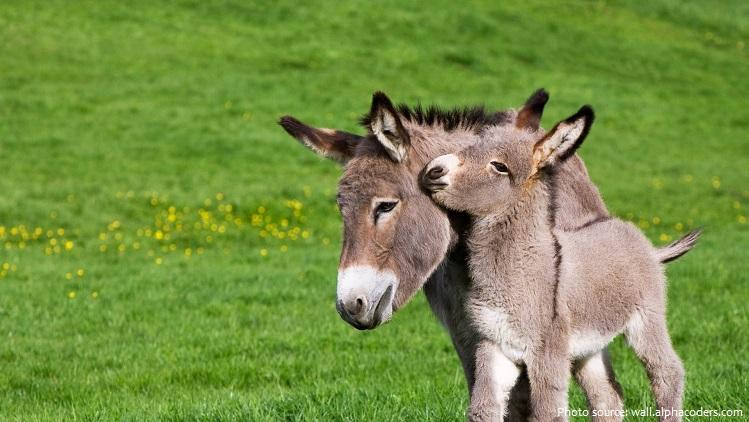 donkey-8