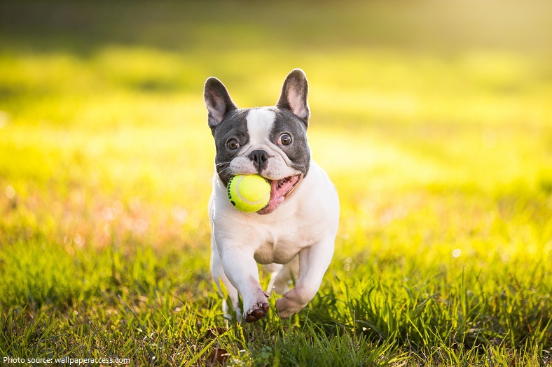 french-bulldog-3