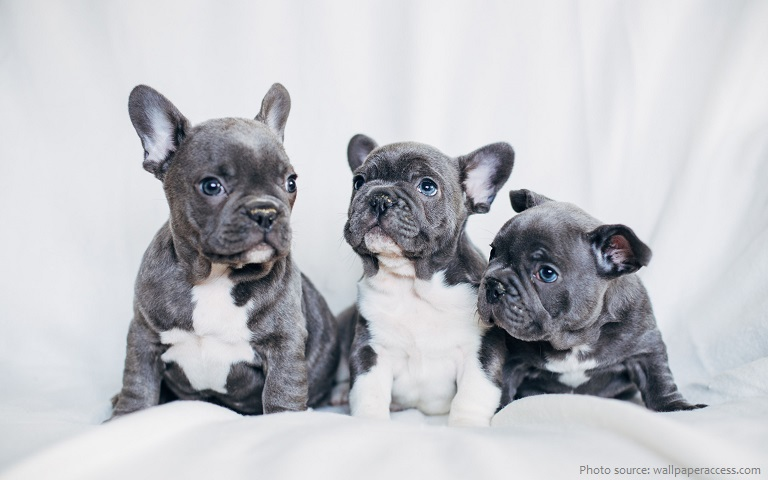 french-bulldogs-2