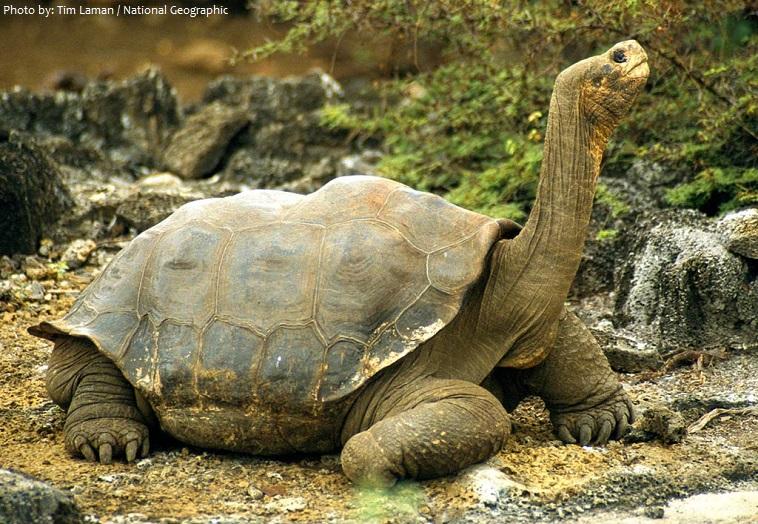giant-tortoise-2