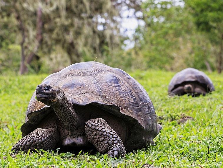 giant-tortoise-4