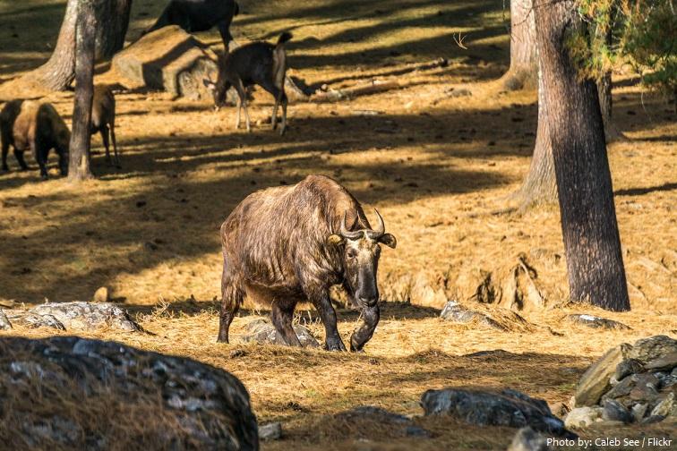 motithang takin preserve