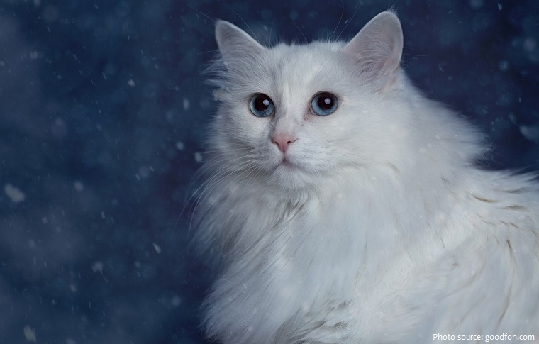 turkish-angora-2
