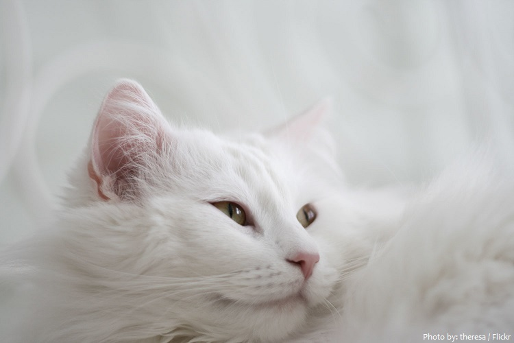 turkish-angora-6