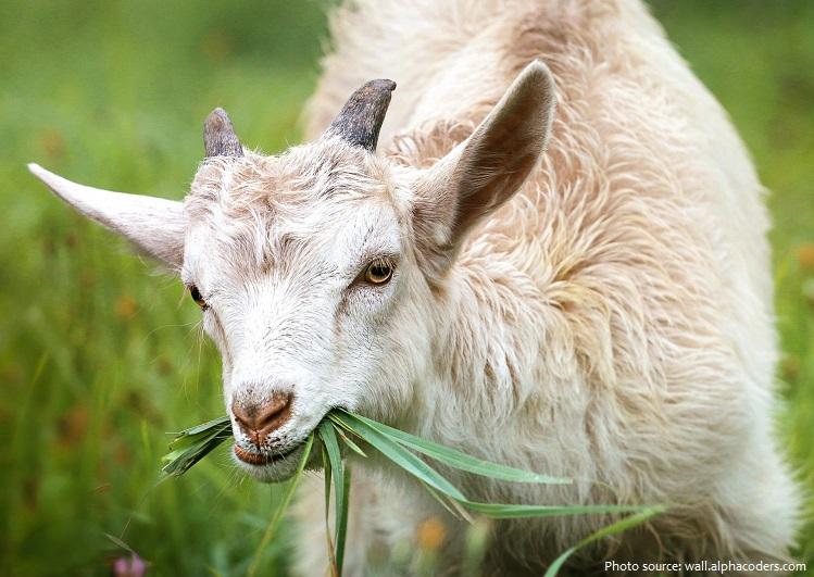 goat-2