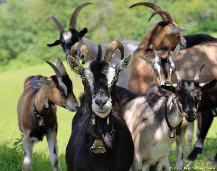 goats-2