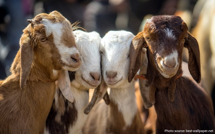 goats-4