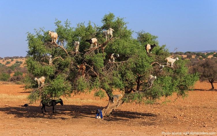 goats-5