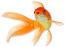 goldfish-8