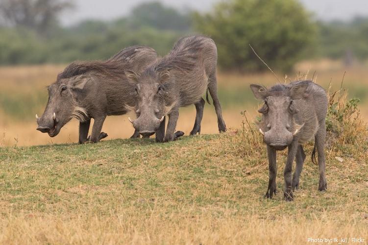 warthog-6