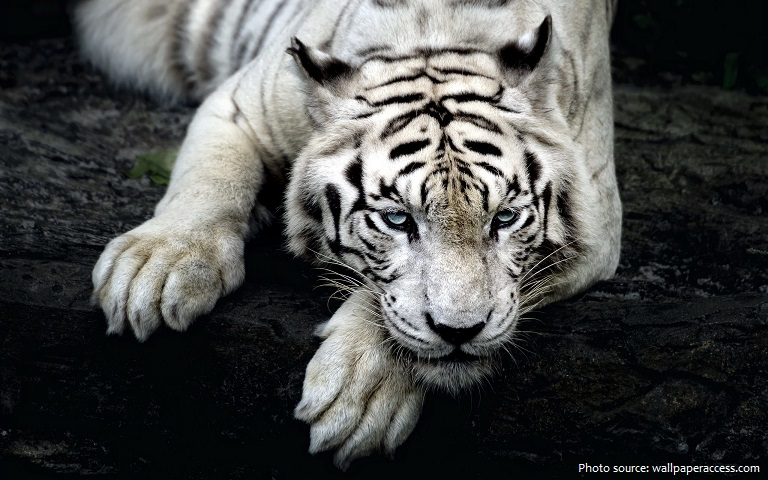 white-tiger-3