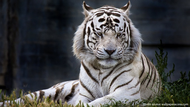 white-tiger-6