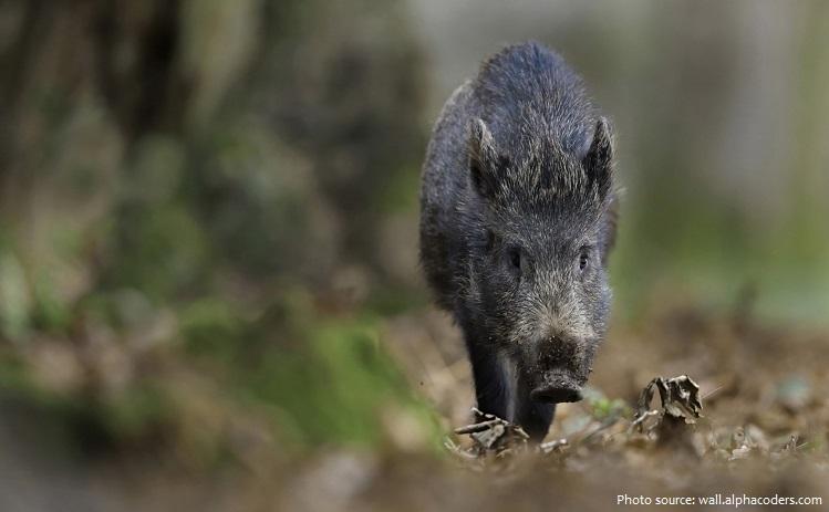wild-boar-3