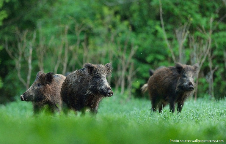 wild-boar-5