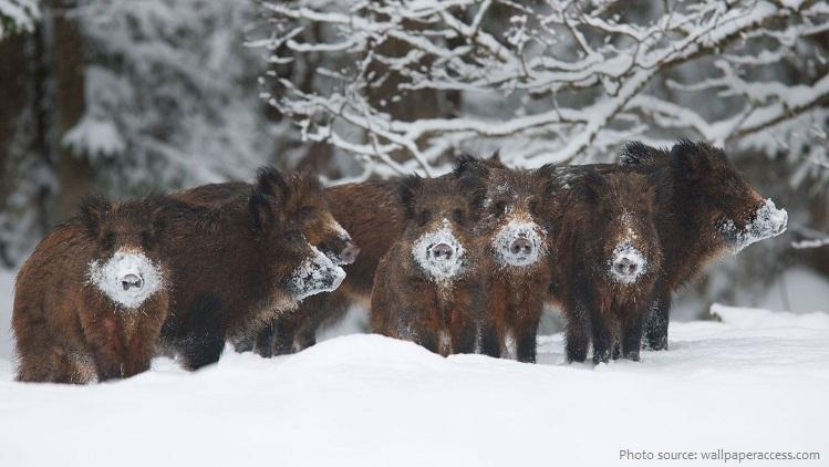 wild-boar-6
