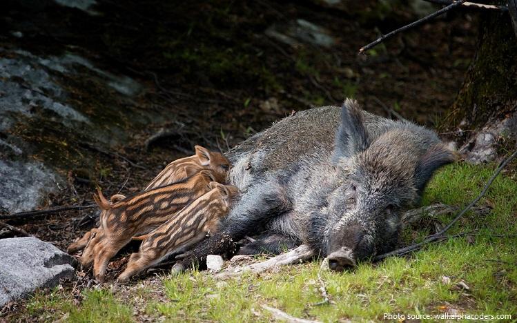 wild-boar-7