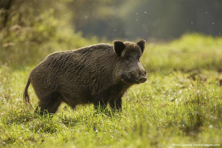 wild-boar-8