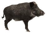 wild-boar-9