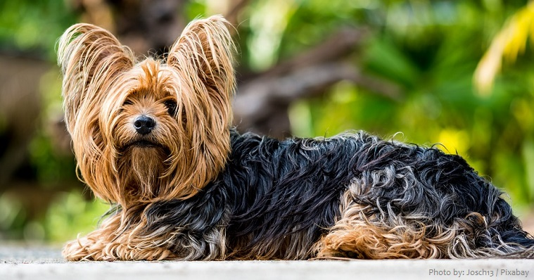 yorkshire-terrier-3