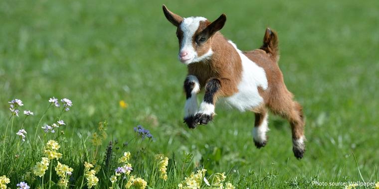 goat-9