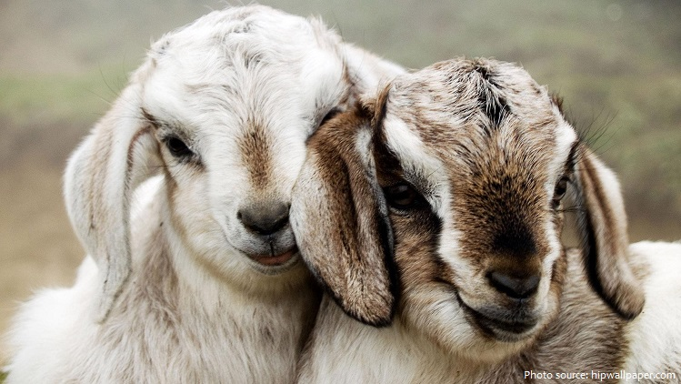 goats-10