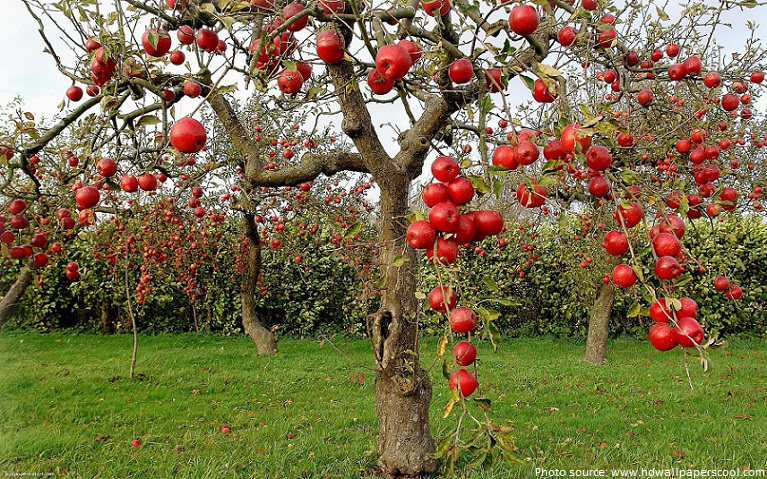 Scientific Name Of Apple Tree