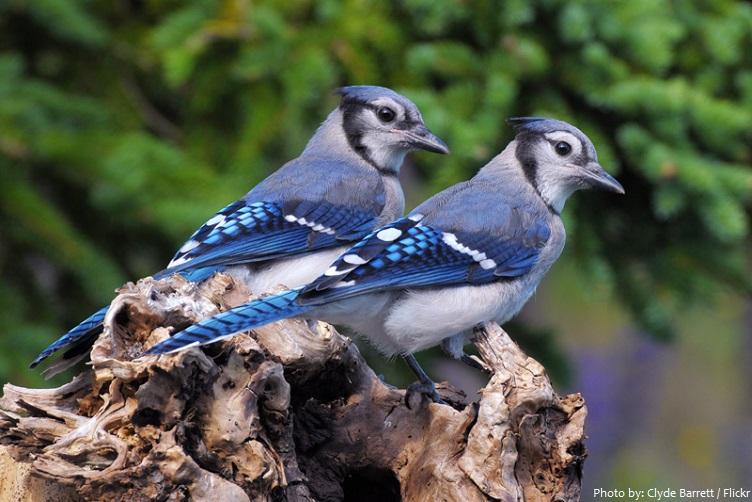 blue jay eggs - 752×502