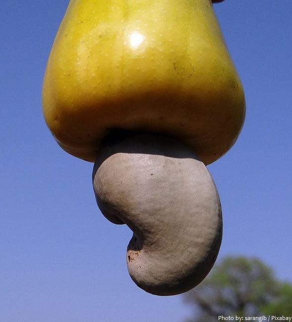 cashew-fruit-2