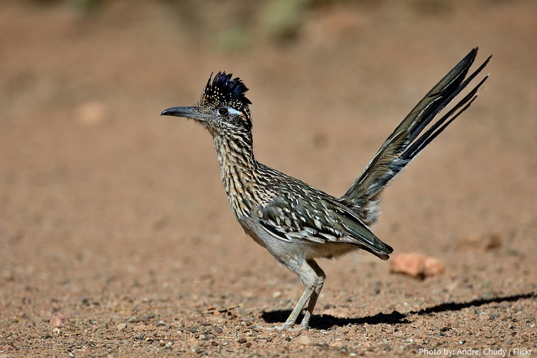 Interesting facts about roadrunners | Just Fun Facts